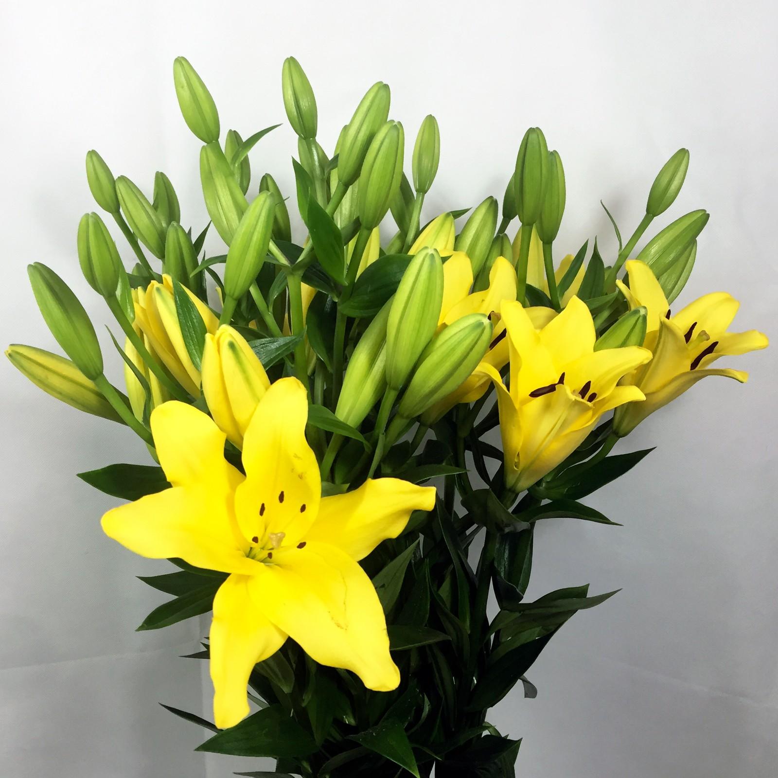 lilium asiático amarillo
