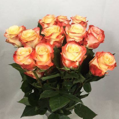 rosas-ecuador-bicolor