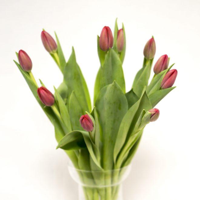 tulipán fucsia