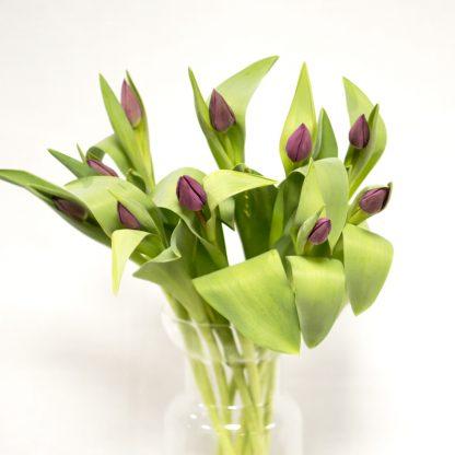 tulipán lila o morado