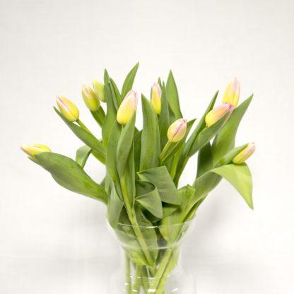 tulipán rosa